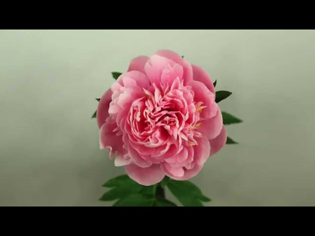 Peony Etched Salmon Time Lapse
