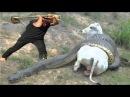 Попытка Спасти Беременную Корову от Гигантской Анаконды !