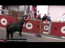 Toiros e Gritos - Best OF 2016 Clip Nº 3 - Ilha Terceira - Azores Crazy Bull Fails