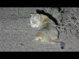 Ещё один барханный кот!!!!! Пытается спрятаться за кустами... Thug Hamster