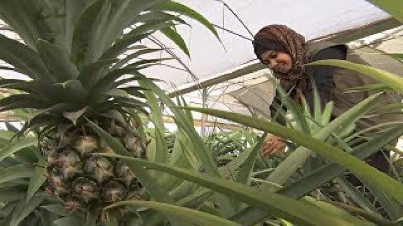 Фермеры сектора Газа собирают первый урожай местных ананасов новости