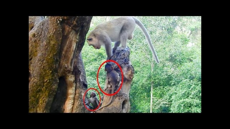 King Kong Monkey Afraid Babies Monkey's - Many Baby Monkeys Want To Fight With King Kong