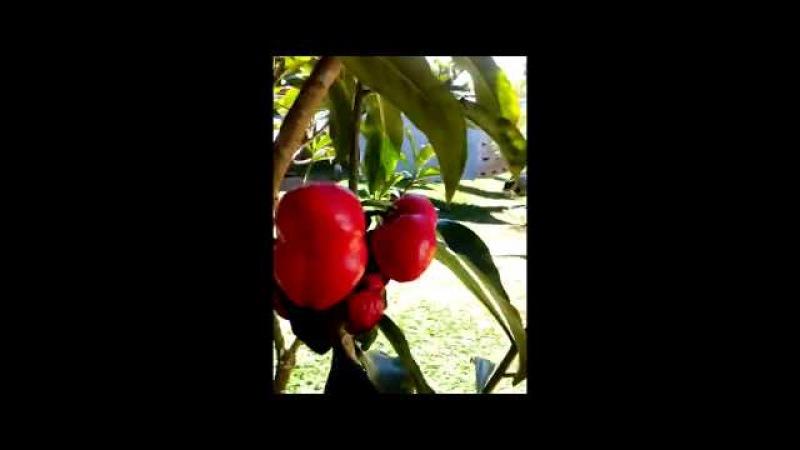 Quien sabe el nombre de esta fruta Roberto Carvajal Costa Rica