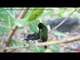 Copper-rumped hummingbird / Тобагская амазилия / Amazilia tobaci