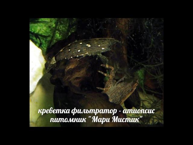 КРЕВЕТКА - АЗИАТСКАЯ , БАМБУКОВАЯ ,СИНГАПУРСКАЯ - ФИЛЬТРАТОР ( МАРИ МИСТИК )