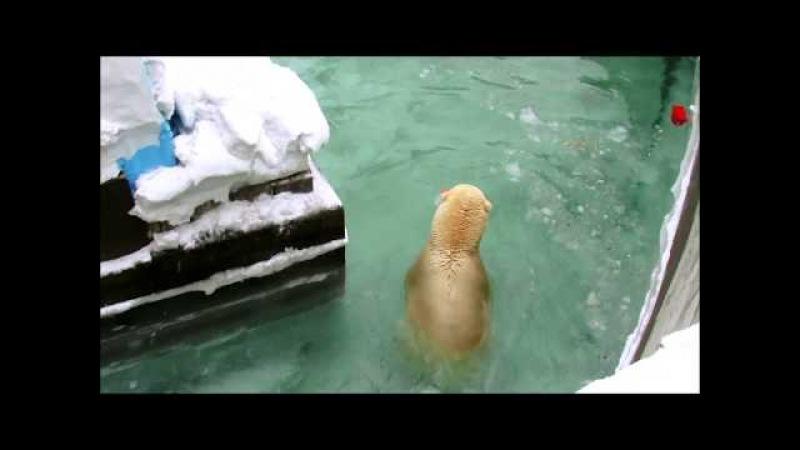 Белый медведь Кай и игра с конусом 21 03 18 г