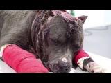 Спасение Бетси - Она не хотела драться Betsy the Pit bull didn