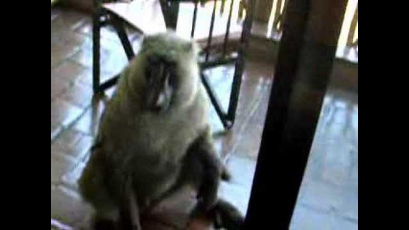 Бабуин забралсмя на балкон в Параа