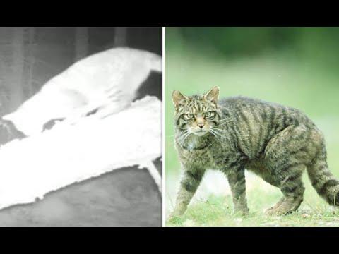 Clashindarroch Beast: One of world's rarest big cats caught on film living in Britain