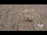Нильский крокодил раскусывает череп антилопы гну (со звуком)