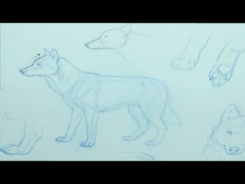 How to draw a wolf (basic body head)