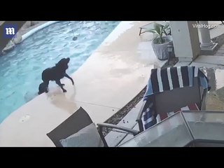 Moment heroic dog jumps into swimming pool to rescue canine pal