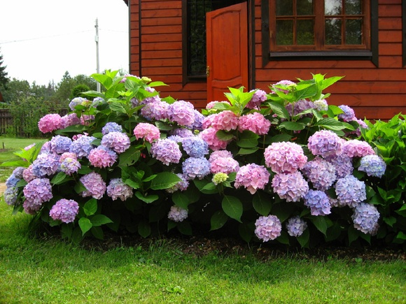 Гортензия на урале выращивание в домашних условиях 24