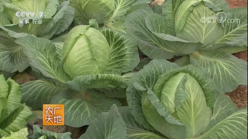 Капуста кочанная ''Цзюань СиньЦай'' (объёмная капуста). Технология возделывания ранней весенней капусты.