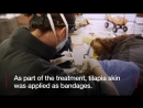 Edible bandages for bears burnt paws