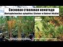 Сосновая стволовая нематода Bursaphelenchus xylophilus Steiner et Buhrer Nickle