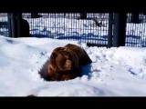 Первая прогулка медведей после спячки