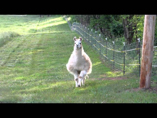 Llama charging us! llama calls that work - not an attack or funny, just cute!