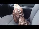 1st UPDATE: Meet Harvey the Hurricane Hawk