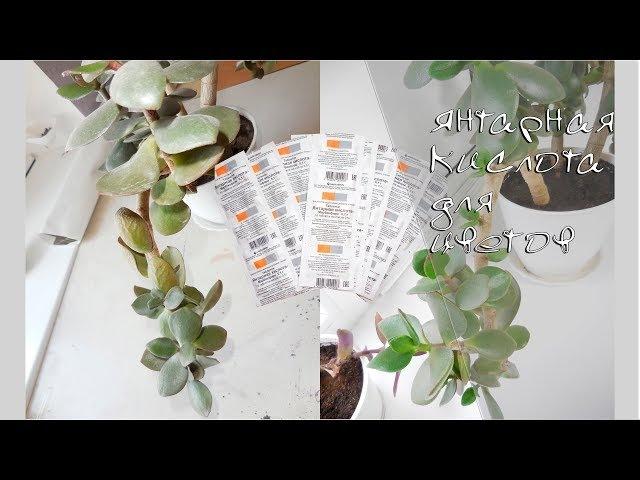 Янтарная кислота для комнатных растений. Результаты Спасаем денежное дерево