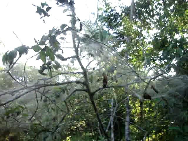 Колония пауков на гуаяве