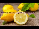 По каким причинам у лимона опадают листья.