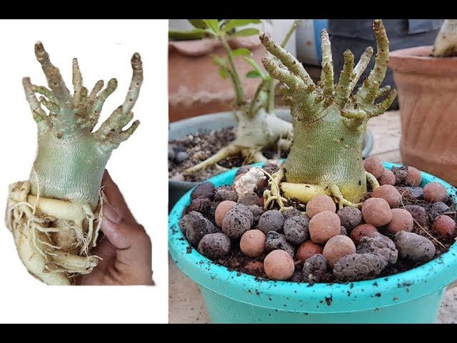 How to repot Adenium Thai socotranum ?