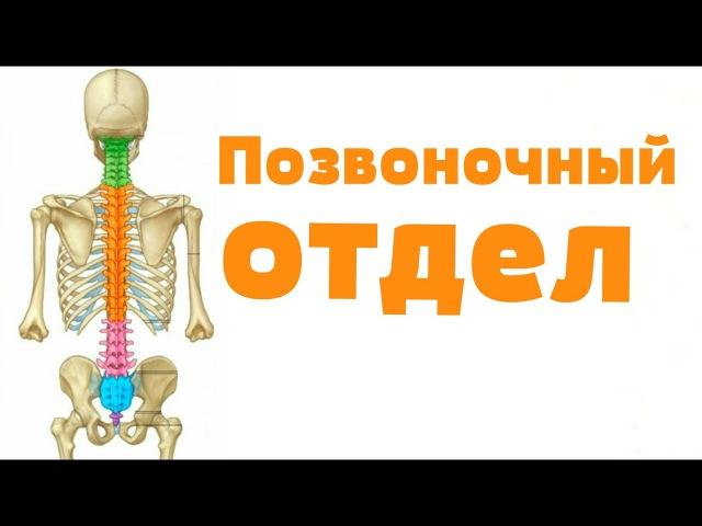 Видео-урок по анатомии. Позвоночный отдел dbltj-ehjr gj fyfnjvbb. gjpdjyjxysq jnltk