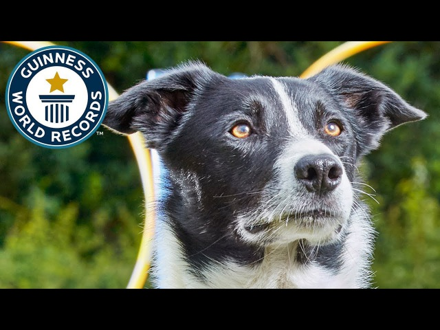 Neo, the parkour collie - Guinness World Records