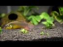 Pelvicachromis Taeniatus Kienke Брачные игры