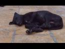 У собак золотого города пустыни Тар тихий час ! Раджастан, Индия
