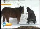 ДТП с фурой которая везла табун лошадей возле Шелехова животным требуется помощь