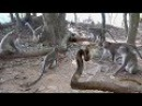 Brave Monkey vs Snake ↛ King Cobra , Lizard , Squirrel ,Mongoose, Bird Real Fight Compilation
