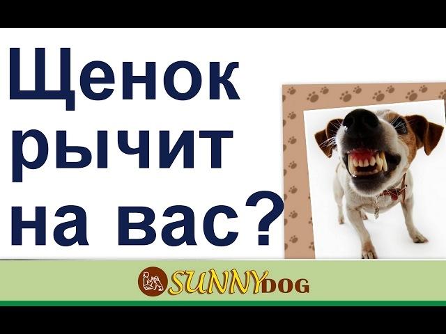 щенок рычит на вас как работать с недовольством щенка