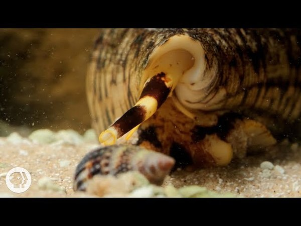 Watch These Cunning Snails Stab and Swallow Fish Whole | Deep Look