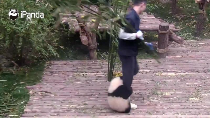 Неугомонный панда-малыш