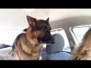 Собака осознала, что ее привезли не в парк, а к ветеринару. Видео прикол