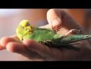 Boo our courageous injured pet parakeet