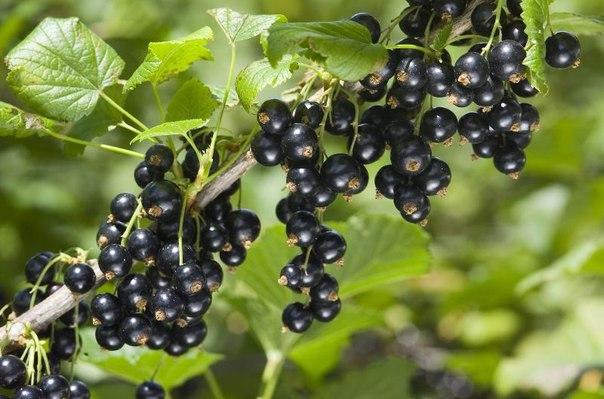 польза черной смородины черная смородина – очень вкусная, и к тому же полезная ягода. благодаря своим необыкновенным свойствам, черную смородину употребляет не только в кулинарии, но и в