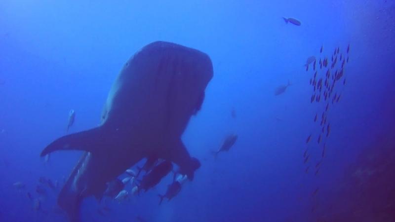 Richelieu Rock Thailand 2018 Whaleshark смотреть онлайн без регистрации