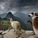 Мне понадобилось несколько минут, чтобы понять, что это третья лама справа, а не лама…