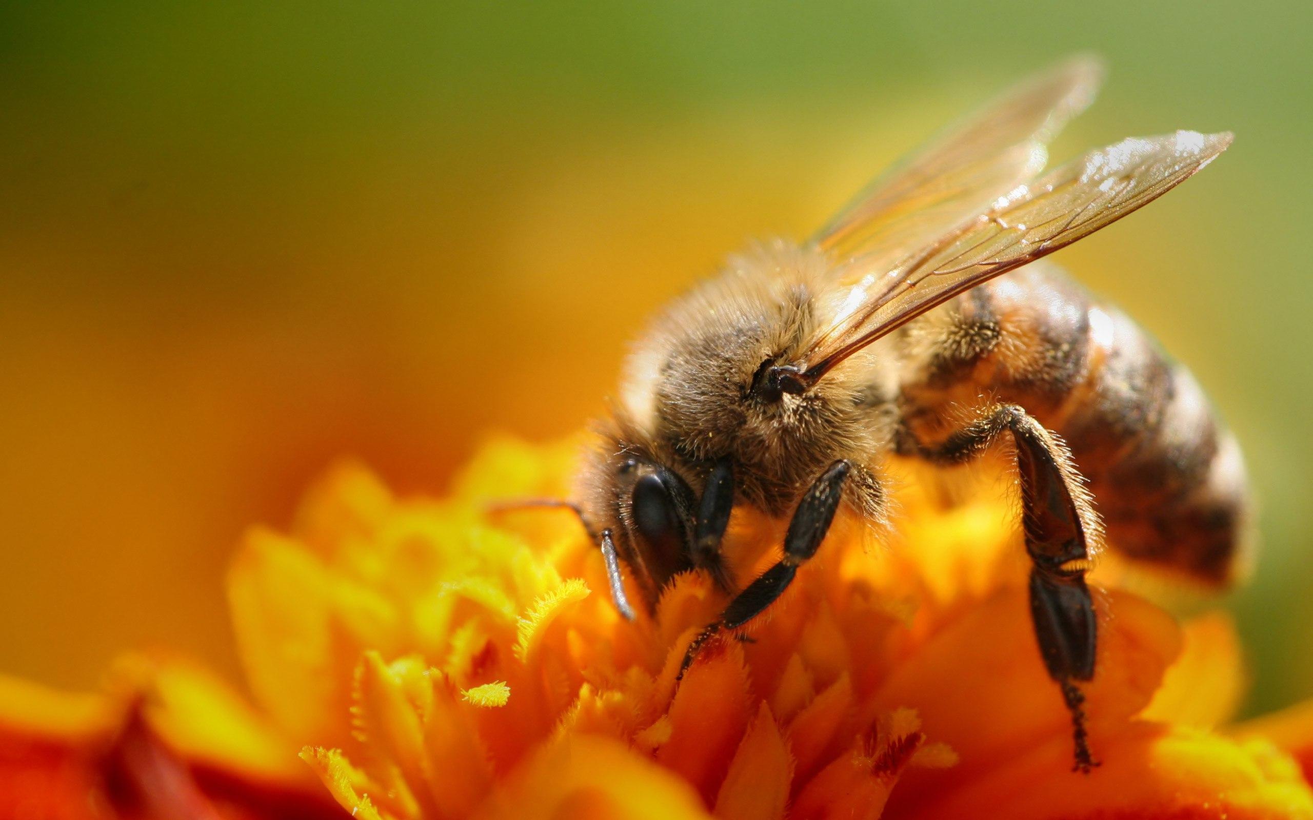 Статья - Почему медовая пчела сравнивается с жадиной?