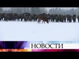 В Польше корова сбежала с фермы и присоединилась к стаду диких зубров.