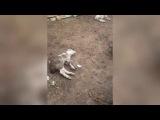 Собаки вновь напали на скот в селе Саин Шапагатов. Казахстан.