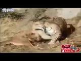 Тигр УБИВАЕТ Пит БУЛЯ!!! ШОК!!! Ягуар против ПУМЫ!!! A tiger KILLS a pit BULL!!! SHOCK!!!