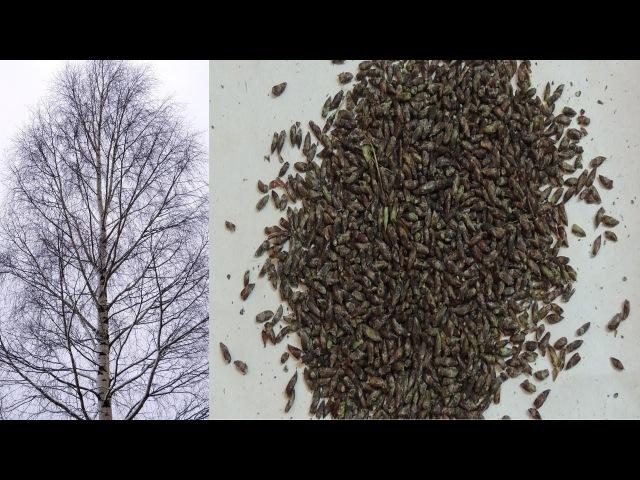 Как за 5 минут собрать 🌳 почки берёзы ❄️ зимой . Winter harvest of birch buds.