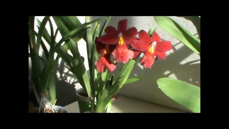Камбрия орхидея для новичков