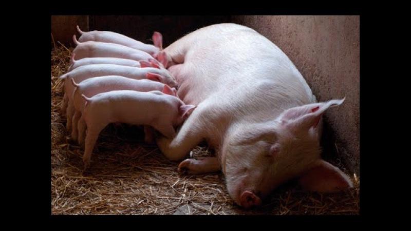 Диагностика беременности у свиней Diagnóstico de gestación en cerdos