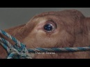 Weinende Kuh jetzt gerettet Crying Cow now saved with english subtitles