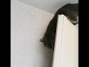 пушистый любимец Сэм Сэмюэл скоттишстрайт британец прямоухий серый дымчатый котэ котик плюшевый мягкий мурлыка ко